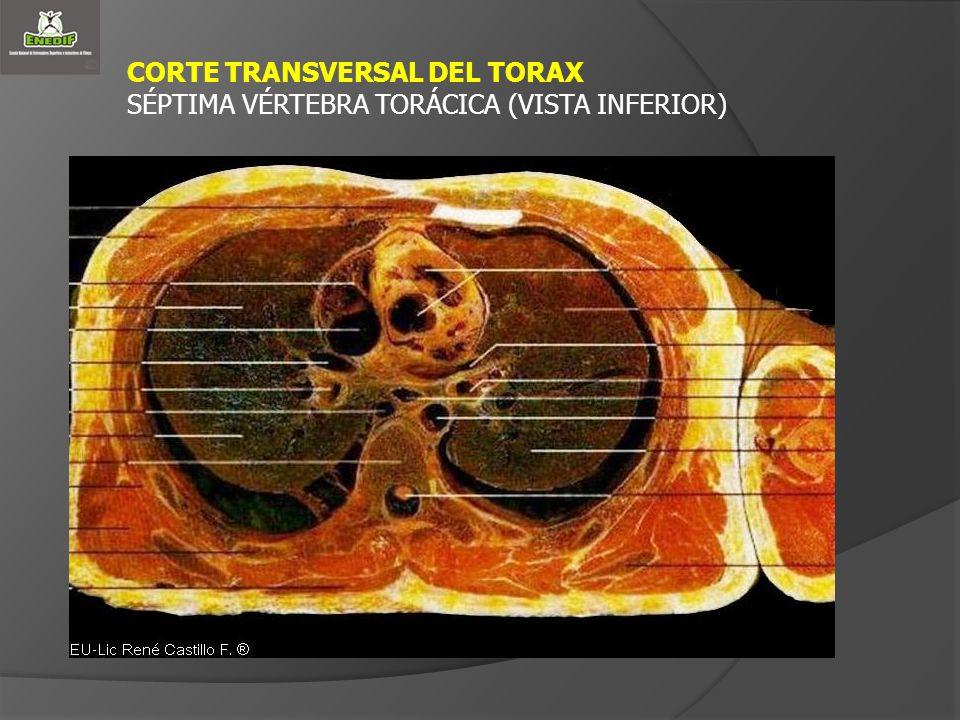 CORTE TRANSVERSAL DEL TORAX