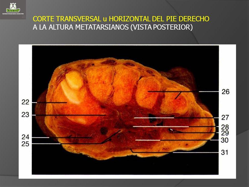 CORTE TRANSVERSAL u HORIZONTAL DEL PIE DERECHO