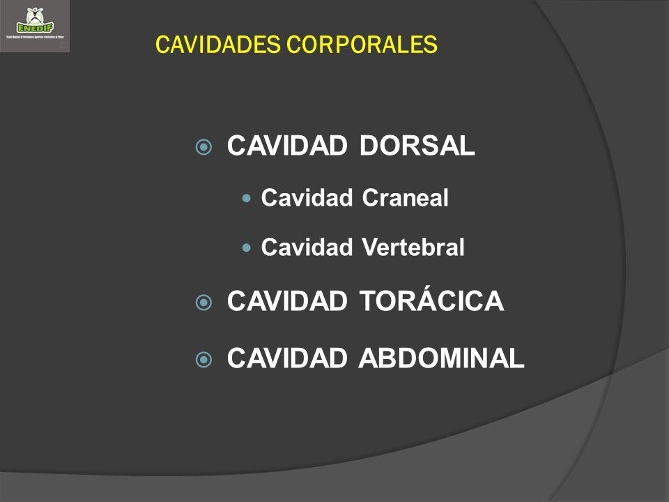 CAVIDAD DORSAL CAVIDAD TORÁCICA CAVIDAD ABDOMINAL CAVIDADES CORPORALES