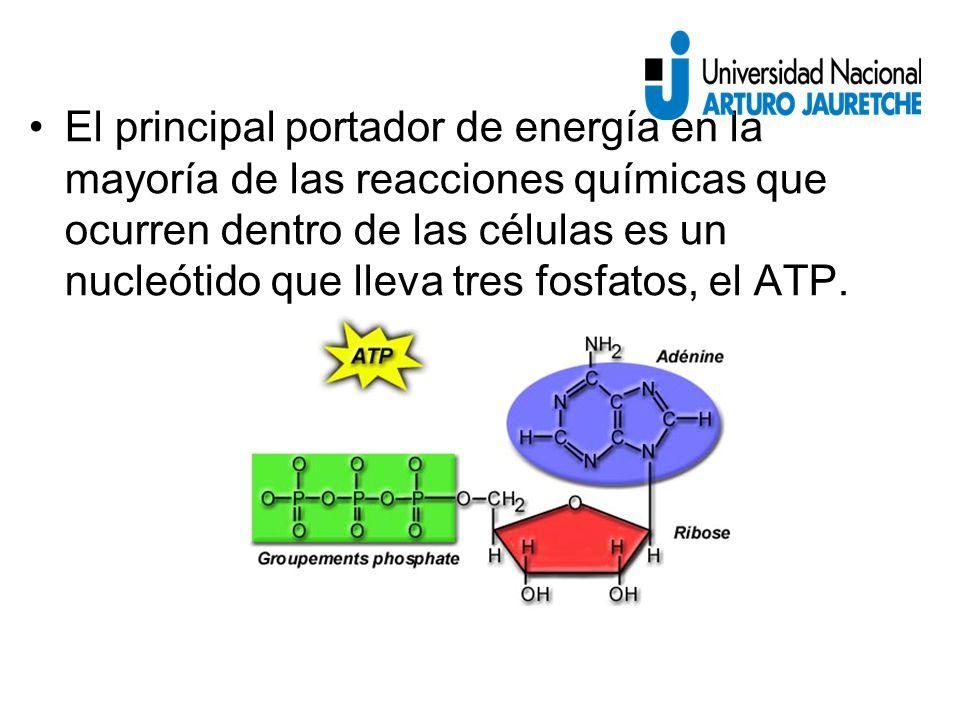 El principal portador de energía en la mayoría de las reacciones químicas que ocurren dentro de las células es un nucleótido que lleva tres fosfatos, el ATP.