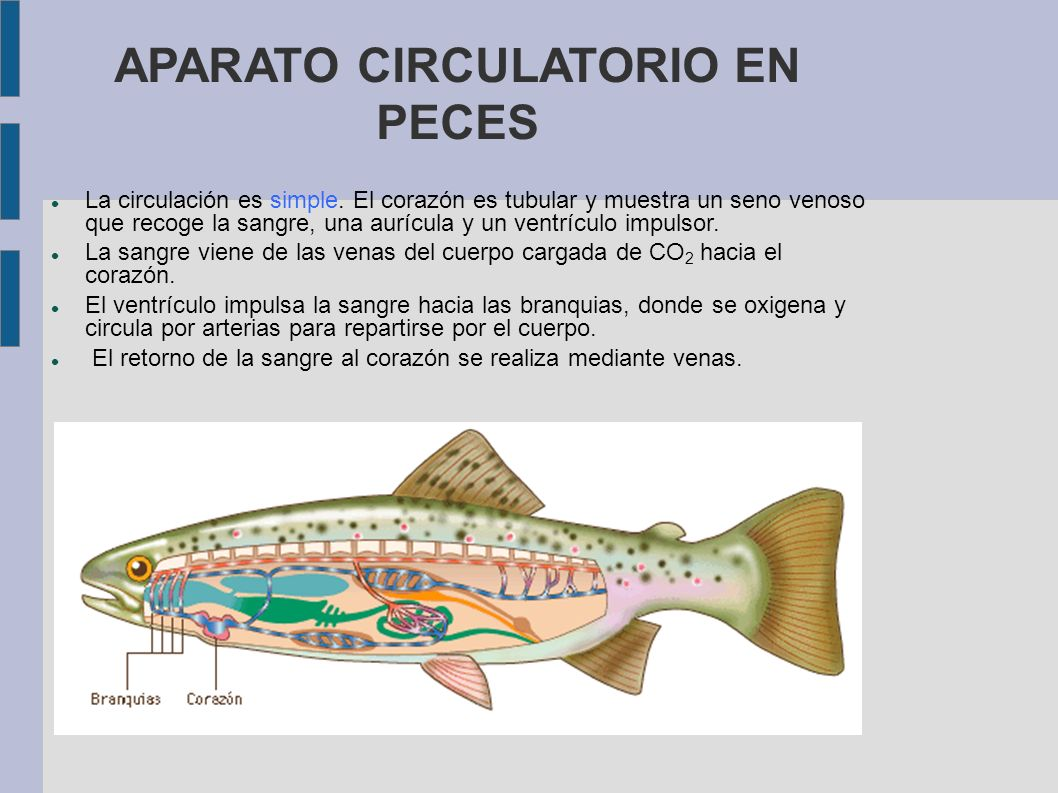 APARATO CIRCULATORIO EN PECES