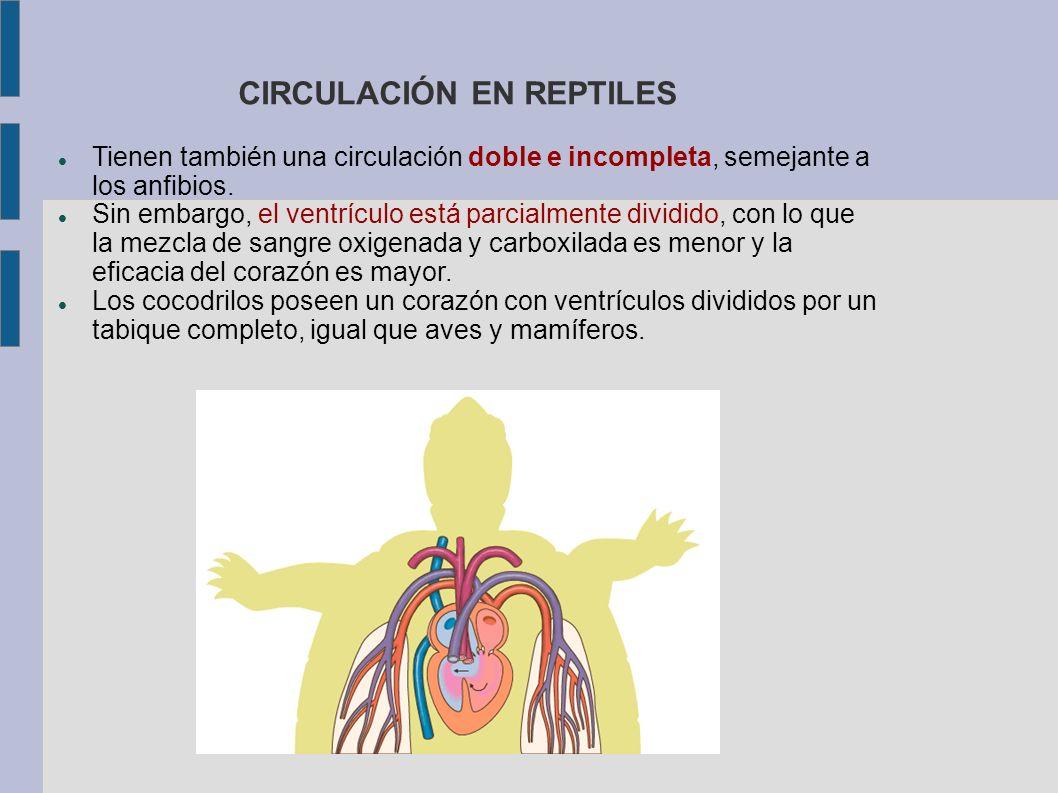CIRCULACIÓN EN REPTILES
