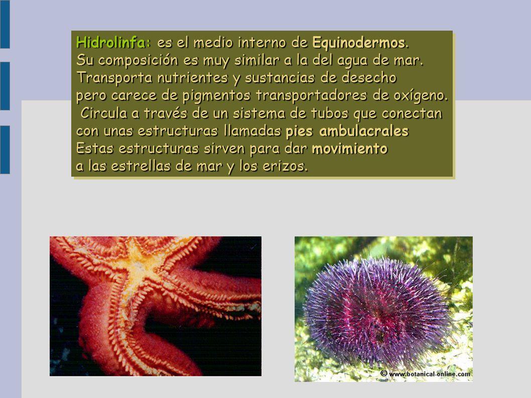 Hidrolinfa: es el medio interno de Equinodermos.