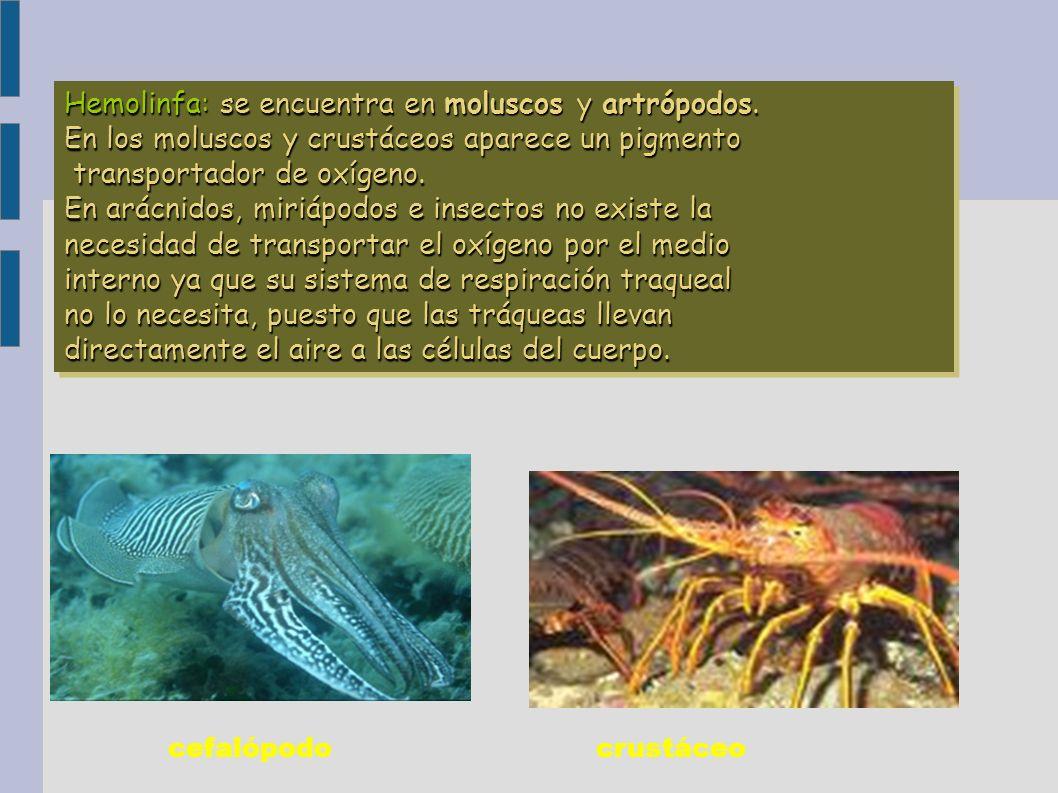 Hemolinfa: se encuentra en moluscos y artrópodos.