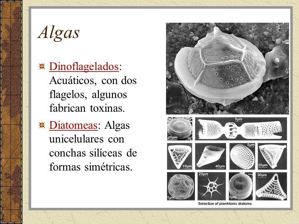 AlgasDinoflagelados: Acuáticos, con dos flagelos, algunos fabrican toxinas.