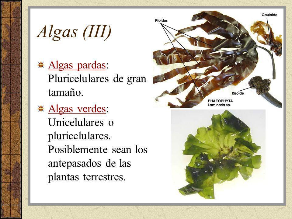 Algas (III) Algas pardas: Pluricelulares de gran tamaño.