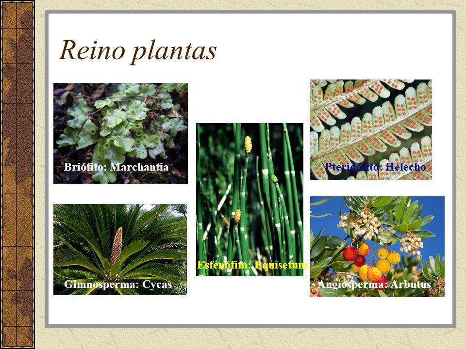 Reino plantas Briófito: Marchantia Pteridófito: Helecho