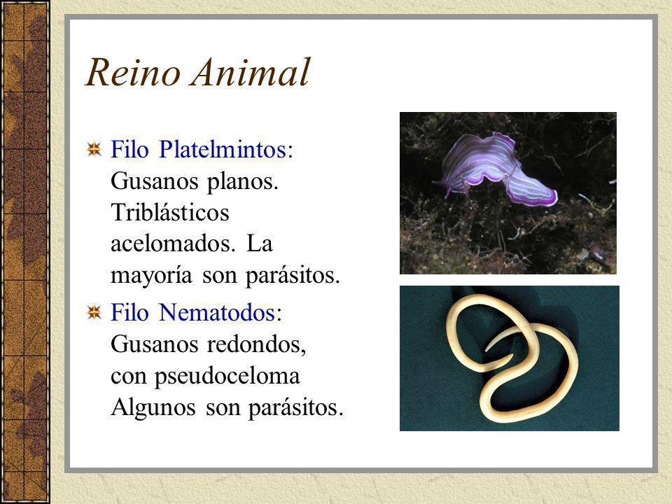 Reino Animal Filo Platelmintos: Gusanos planos. Triblásticos acelomados. La mayoría son parásitos.