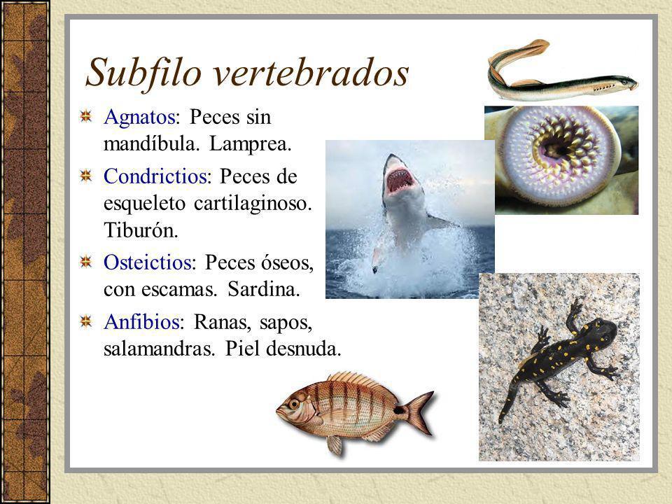 Subfilo vertebrados Agnatos: Peces sin mandíbula. Lamprea.