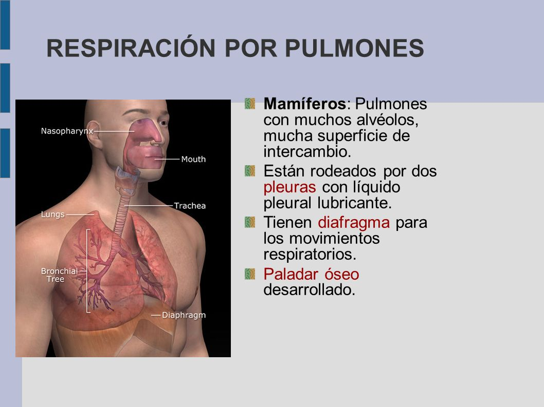 RESPIRACIÓN POR PULMONES