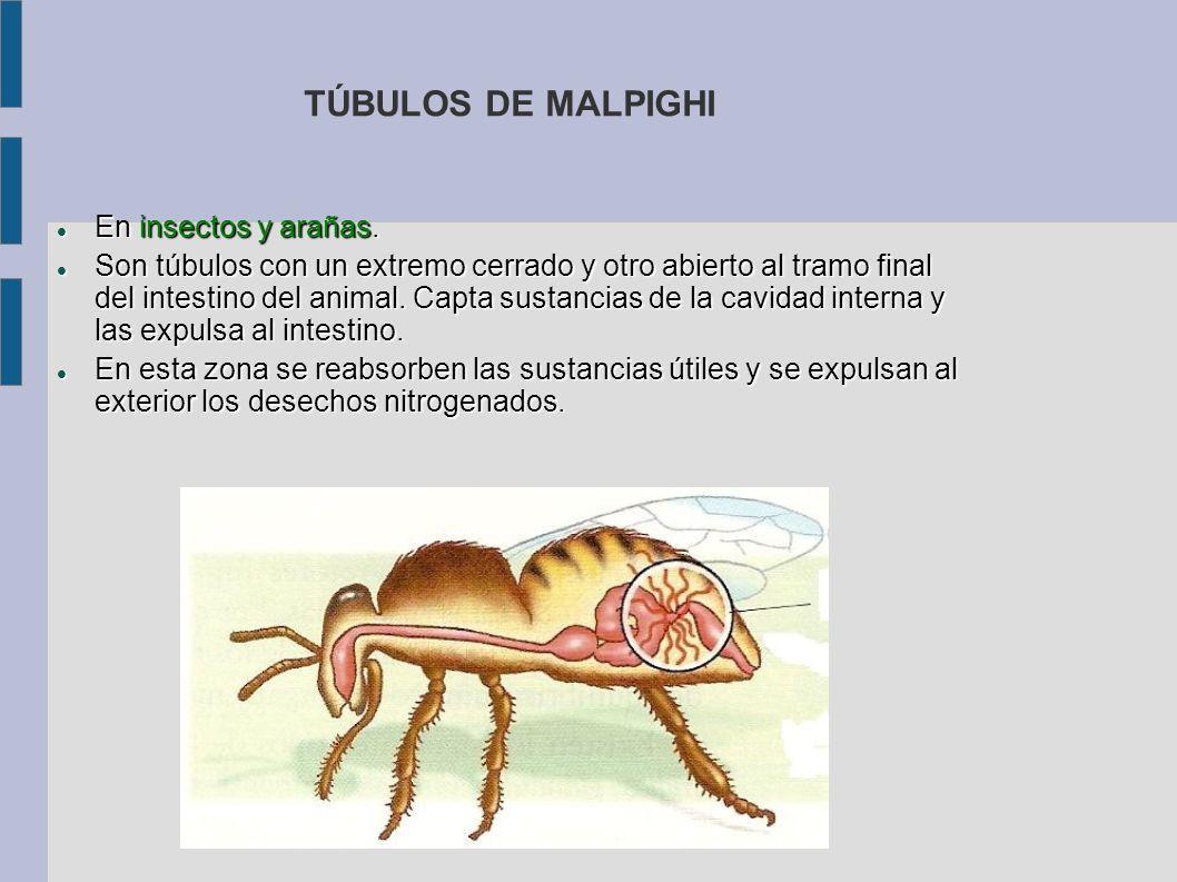TÚBULOS DE MALPIGHI En insectos y arañas.