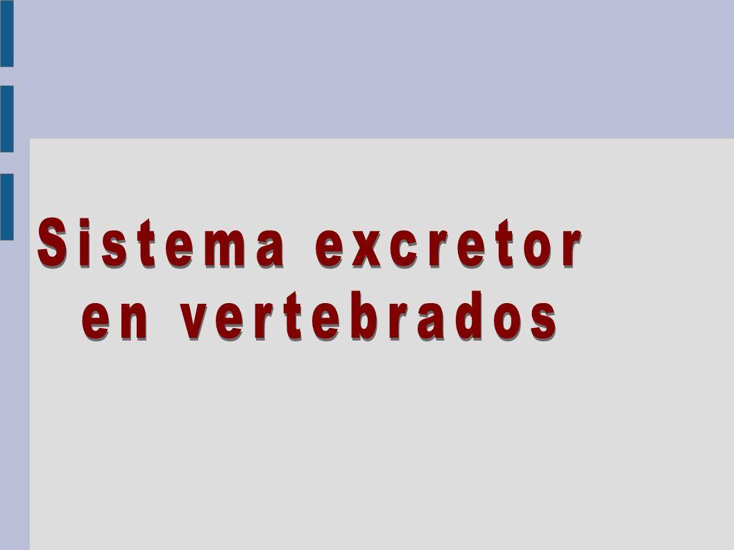 Sistema excretor en vertebrados 30