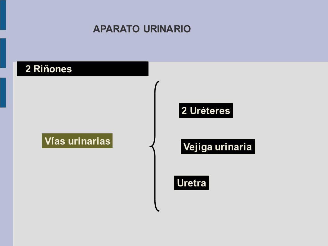 APARATO URINARIO 2 Riñones 2 Uréteres Vías urinarias Vejiga urinaria