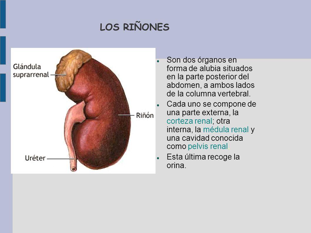 LOS RIÑONESSon dos órganos en forma de alubia situados en la parte posterior del abdomen, a ambos lados de la columna vertebral.
