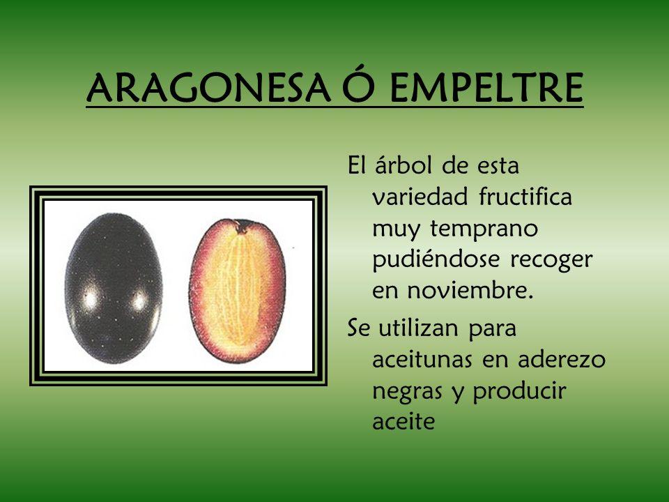 ARAGONESA Ó EMPELTRE El árbol de esta variedad fructifica muy temprano pudiéndose recoger en noviembre.
