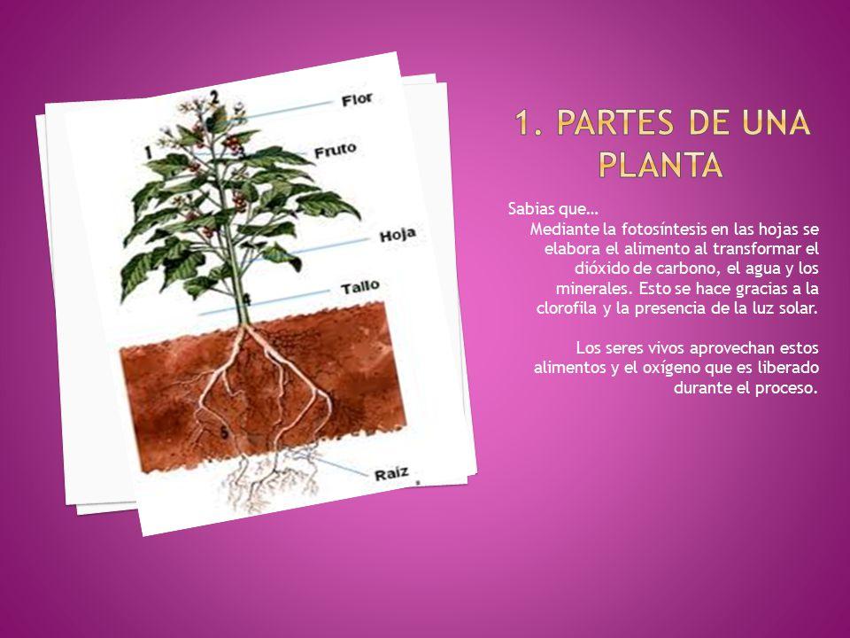 1. Partes de una planta Sabias que…