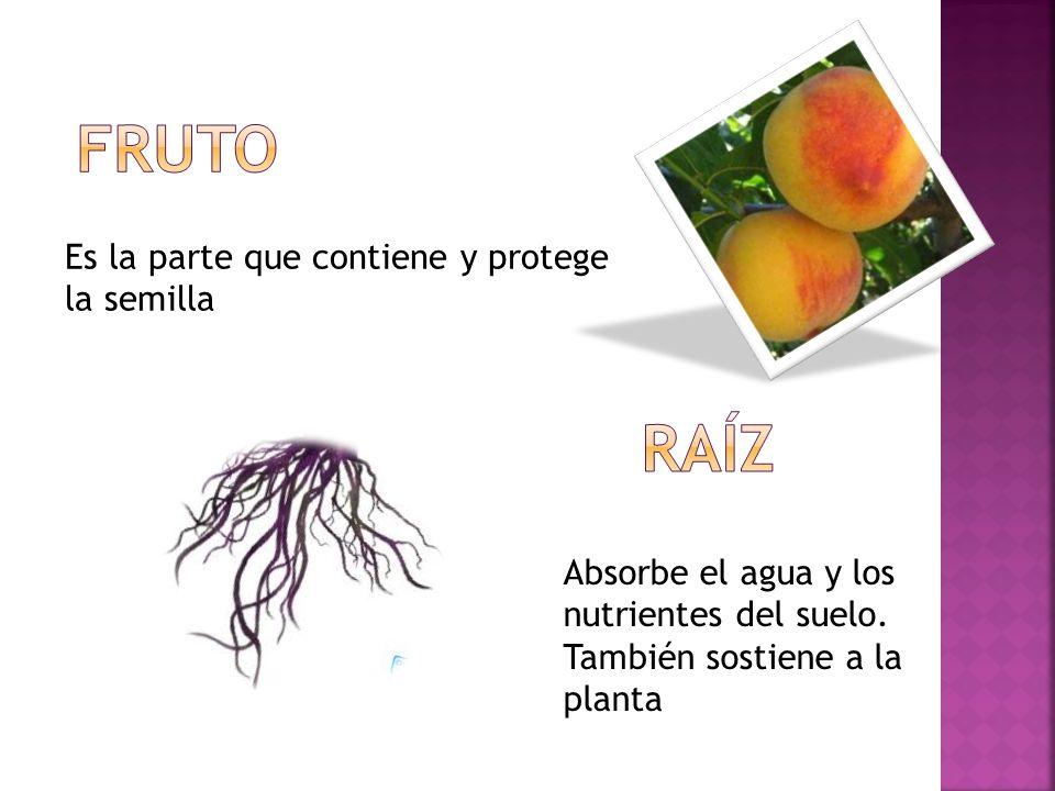 FRUTO raíz Es la parte que contiene y protege la semilla