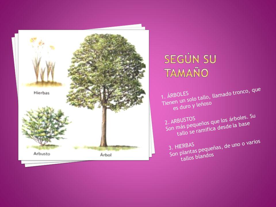 SEGÚN SU TAMAÑO Tienen un solo tallo, llamado tronco, que es duro y leñoso. 1. ÁRBOLES.