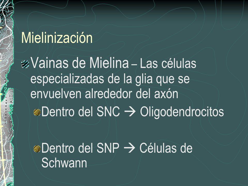 Mielinización Vainas de Mielina – Las células especializadas de la glia que se envuelven alrededor del axón.