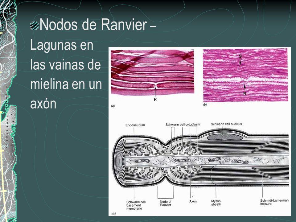 Nodos de Ranvier – Lagunas en las vainas de mielina en un axón