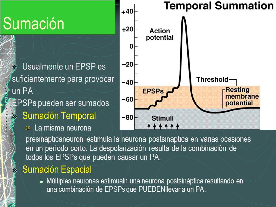 Sumación Sumación Temporal Sumación Espacial Usualmente un EPSP es