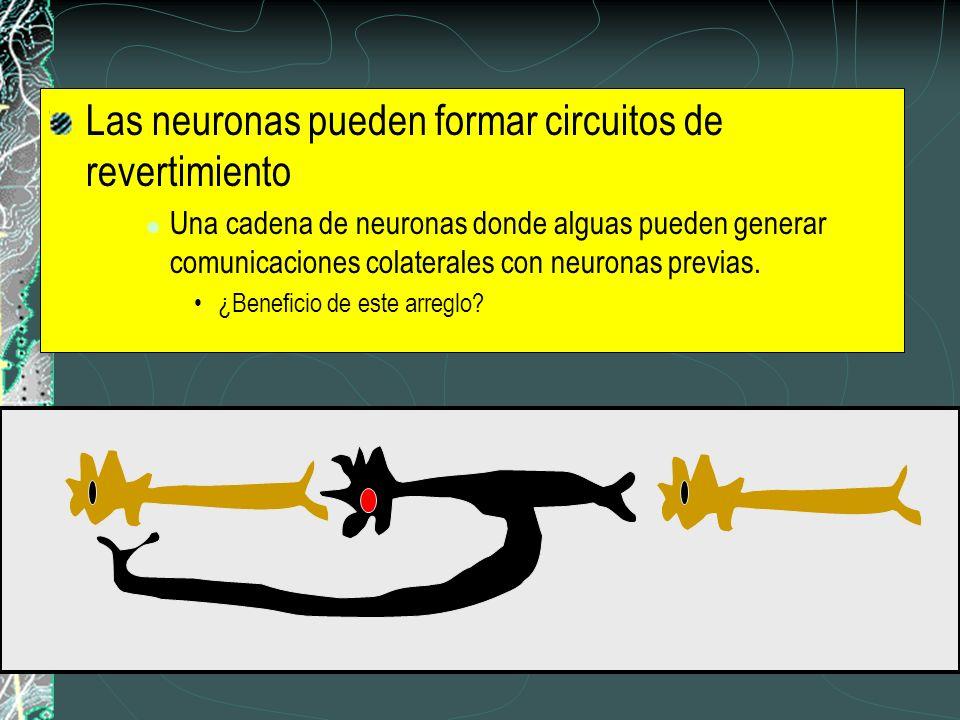 Las neuronas pueden formar circuitos de revertimiento