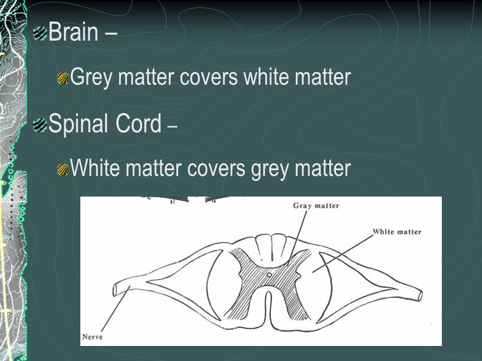 Brain – Spinal Cord – Grey matter covers white matter