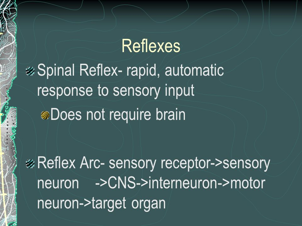 Reflexes Spinal Reflex- rapid, automatic response to sensory input