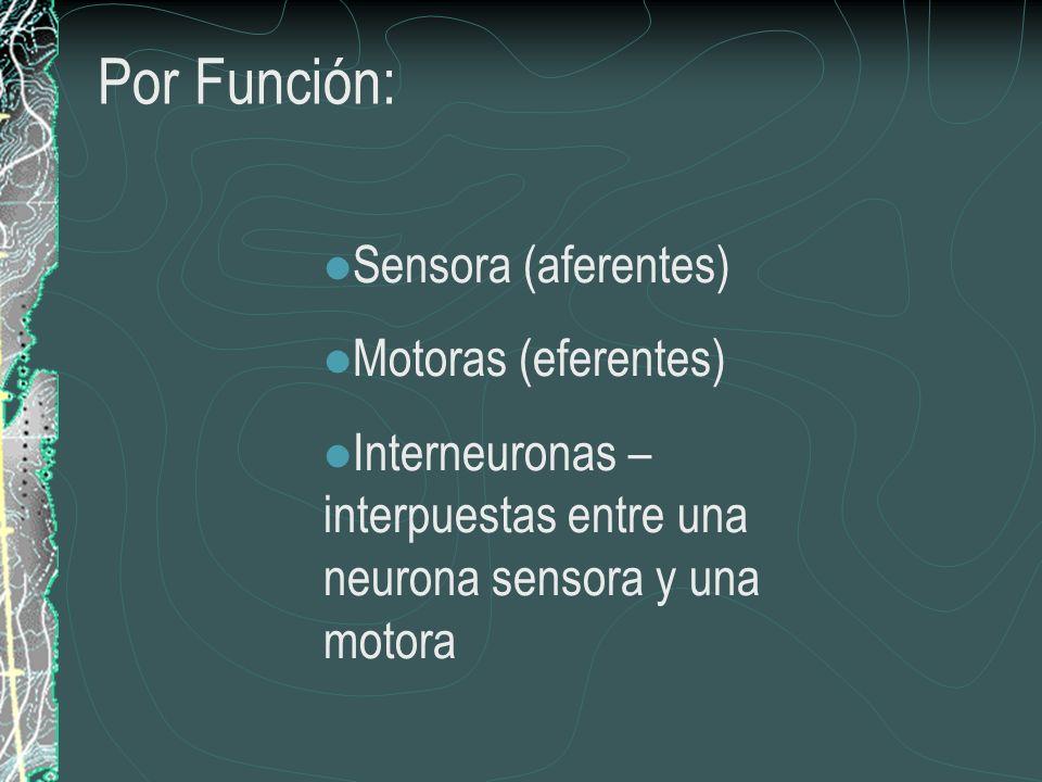 Interneuronas – interpuestas entre una neurona sensora y una motora