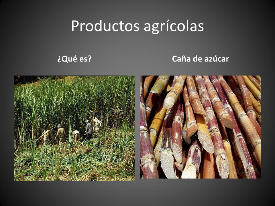 Productos agrícolas ¿Qué es Caña de azúcar