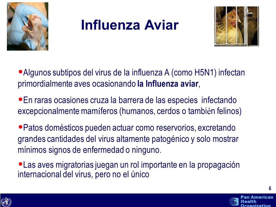 Influenza Aviar Algunos subtipos del virus de la influenza A (como H5N1) infectan primordialmente aves ocasionando la Influenza aviar,