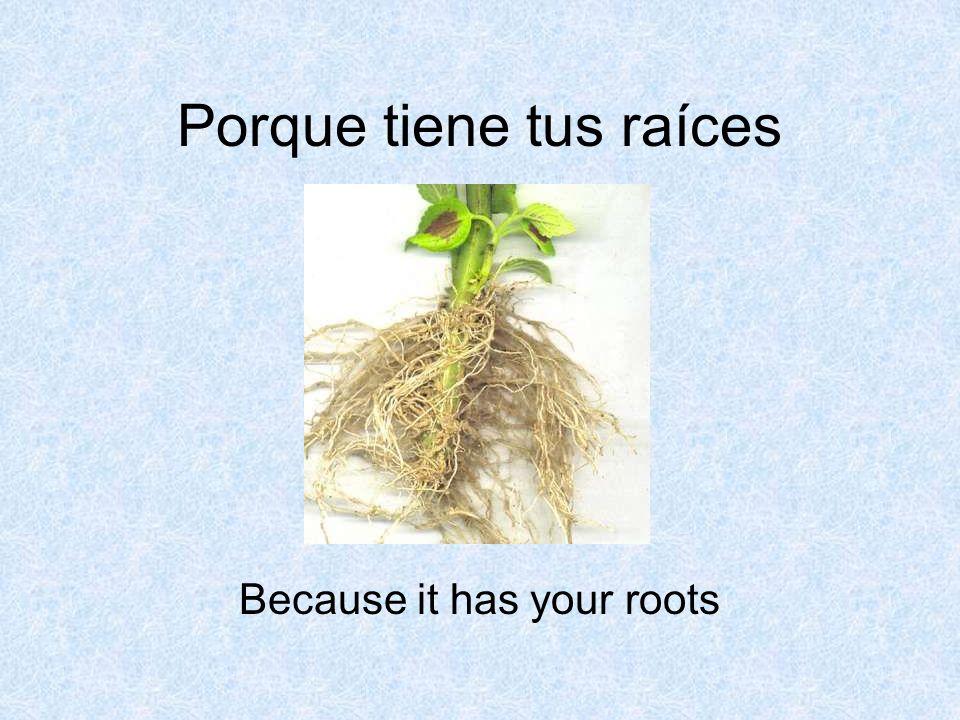 Porque tiene tus raíces