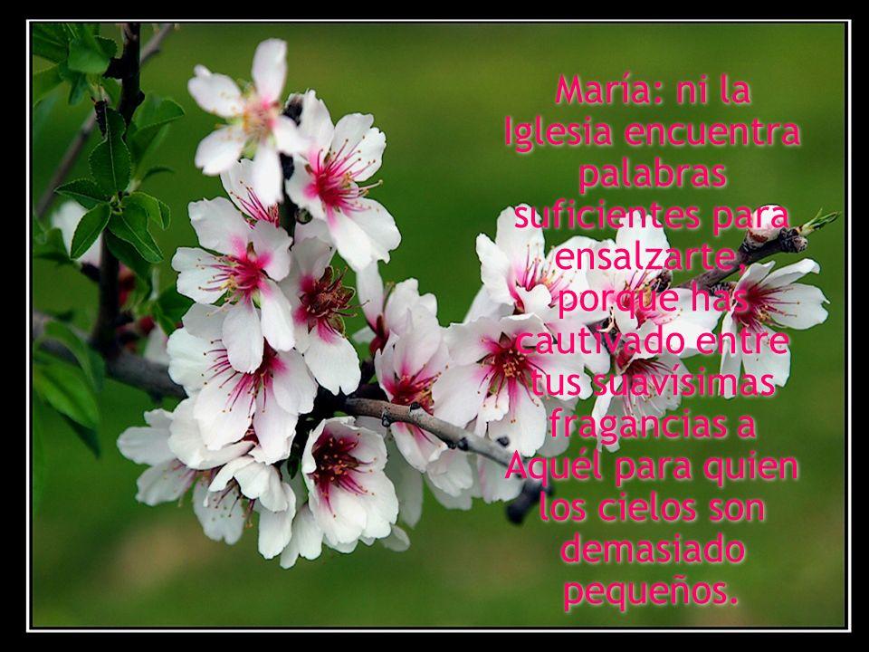 María: ni la Iglesia encuentra palabras suficientes para ensalzarte, porque has cautivado entre tus suavísimas fragancias a Aquél para quien los cielos son demasiado pequeños.