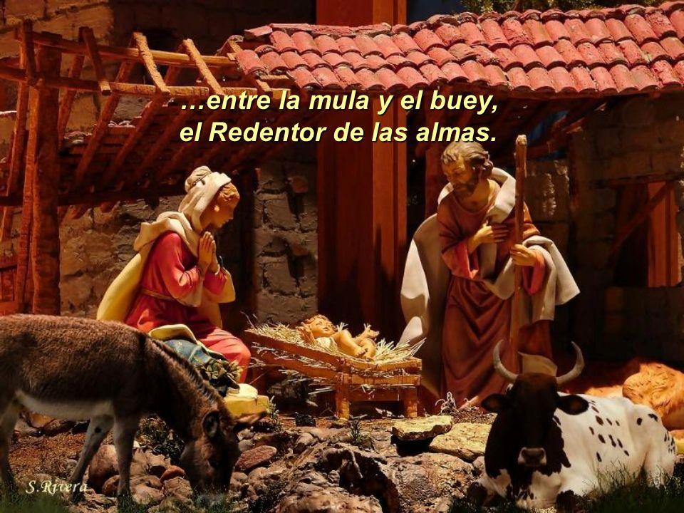 …entre la mula y el buey, el Redentor de las almas.