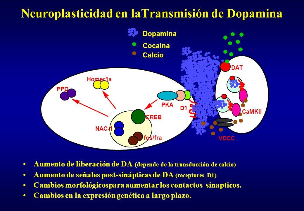 Neuroplasticidad en laTransmisión de Dopamina