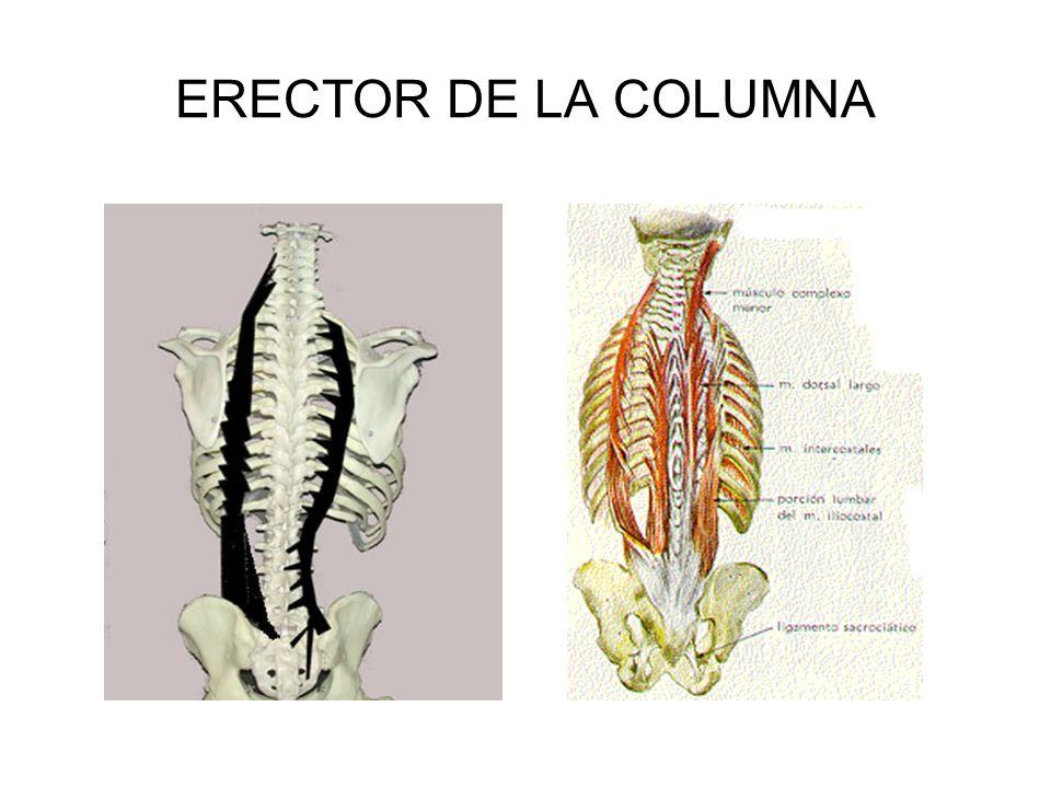 Famoso Erector De La Columna Anatomía Modelo - Anatomía de Las ...