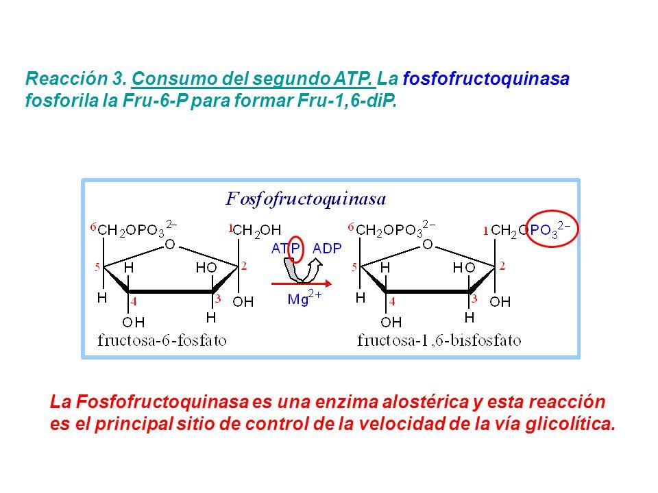 Reacción 3. Consumo del segundo ATP