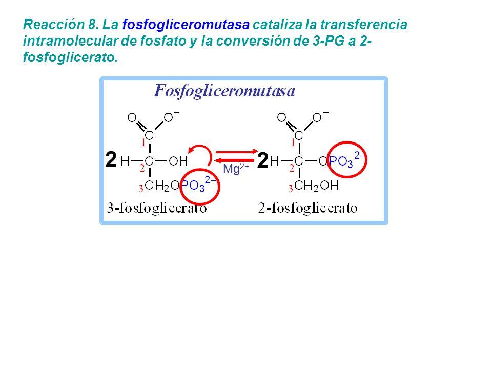 Reacción 8. La fosfogliceromutasa cataliza la transferencia intramolecular de fosfato y la conversión de 3-PG a 2-fosfoglicerato.