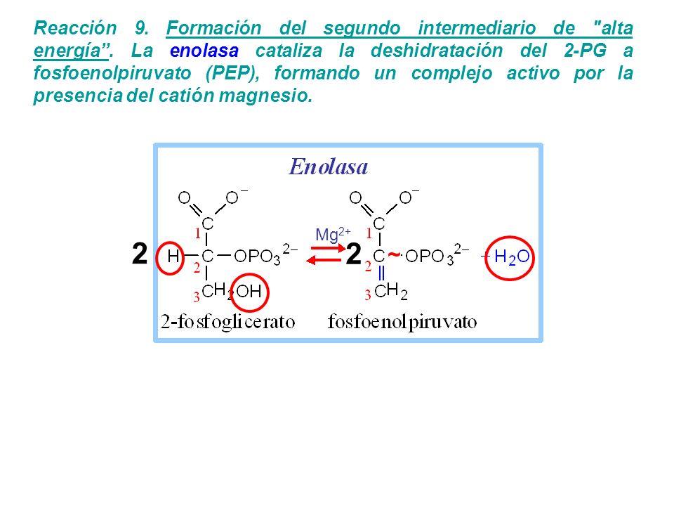 Reacción 9. Formación del segundo intermediario de alta energía