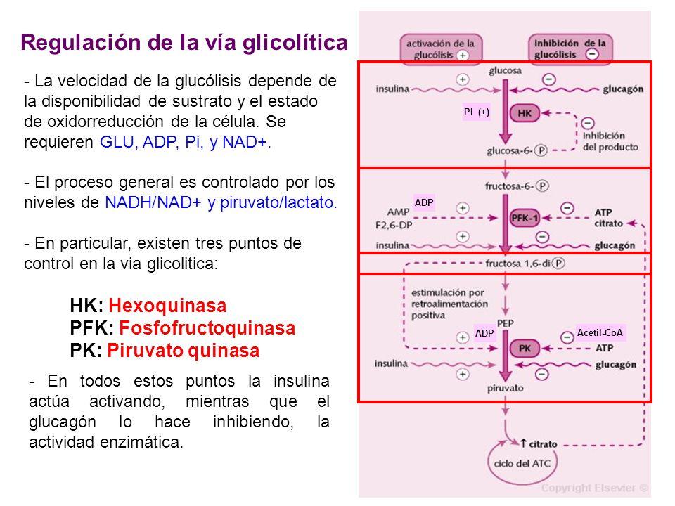 Regulación de la vía glicolítica