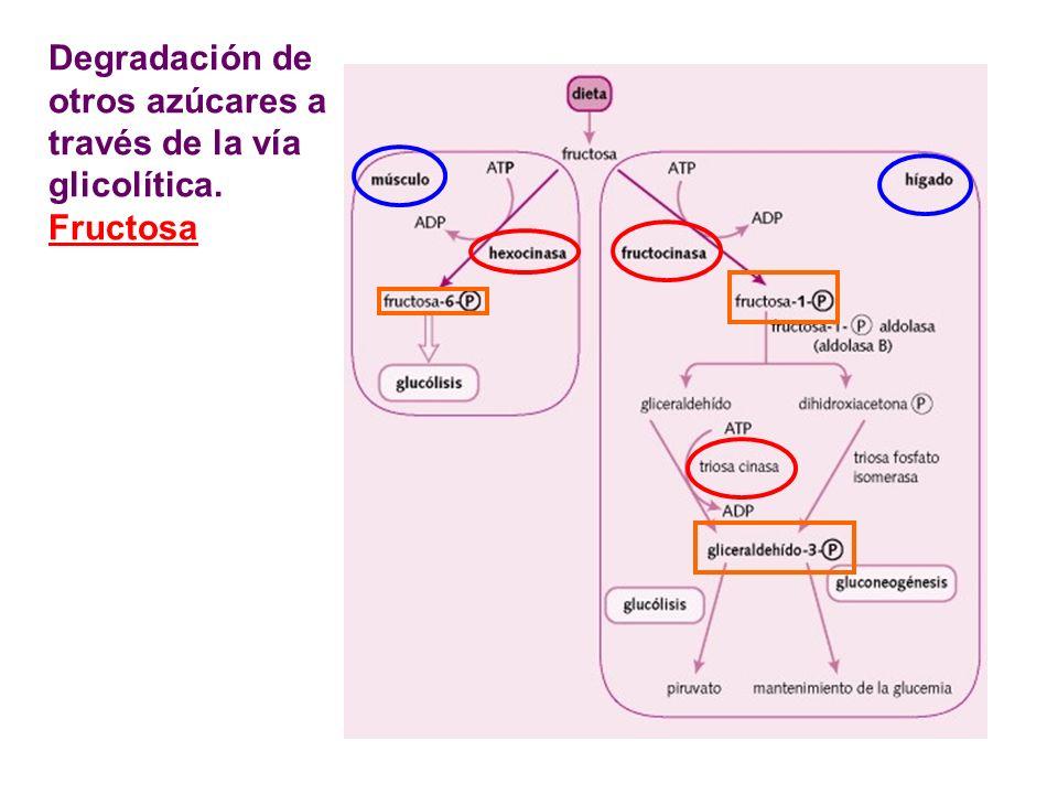 Degradación de otros azúcares a través de la vía glicolítica. Fructosa