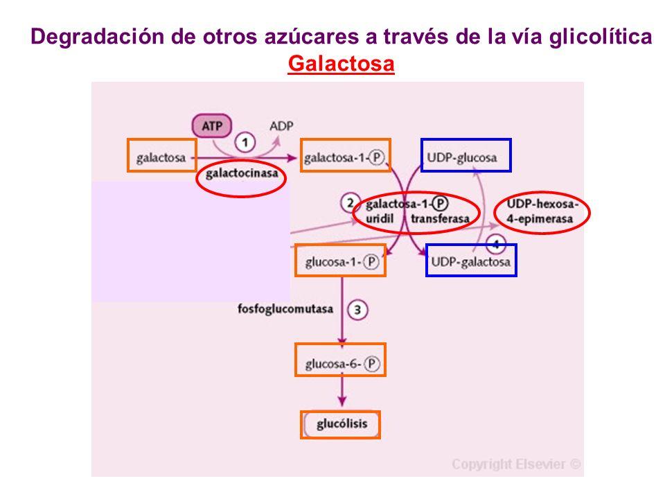Degradación de otros azúcares a través de la vía glicolítica Galactosa