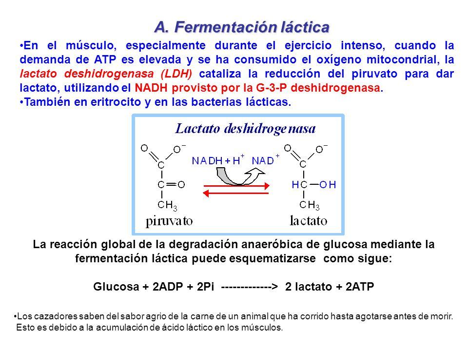 Glucosa + 2ADP + 2Pi -------------> 2 lactato + 2ATP