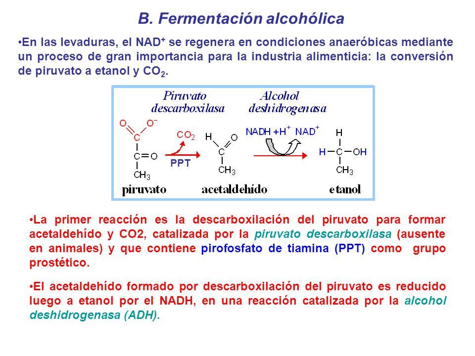B. Fermentación alcohólica