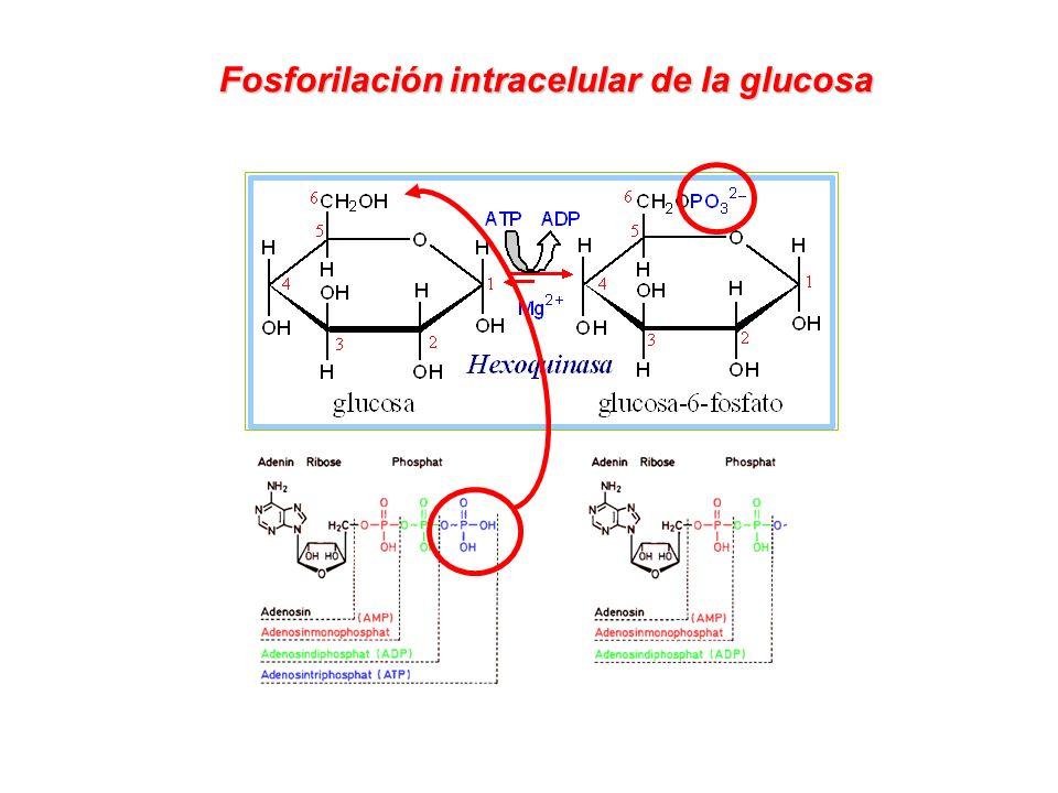 Fosforilación intracelular de la glucosa