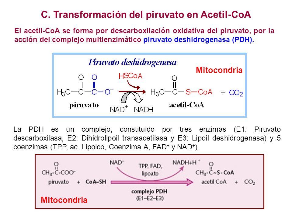 C. Transformación del piruvato en Acetil-CoA