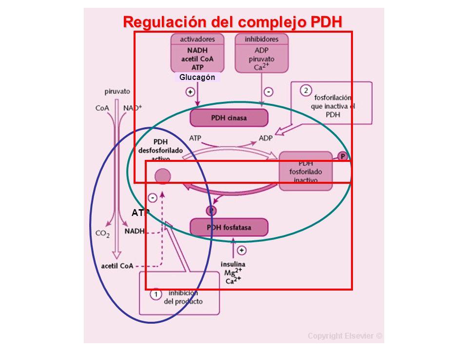 Regulación del complejo PDH