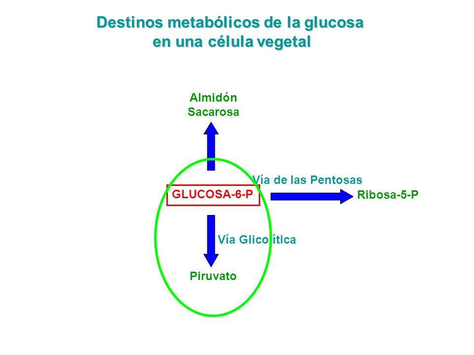 Destinos metabólicos de la glucosa