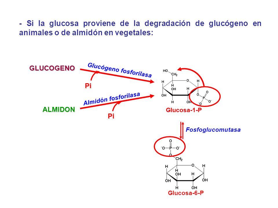 - Si la glucosa proviene de la degradación de glucógeno en animales o de almidón en vegetales: