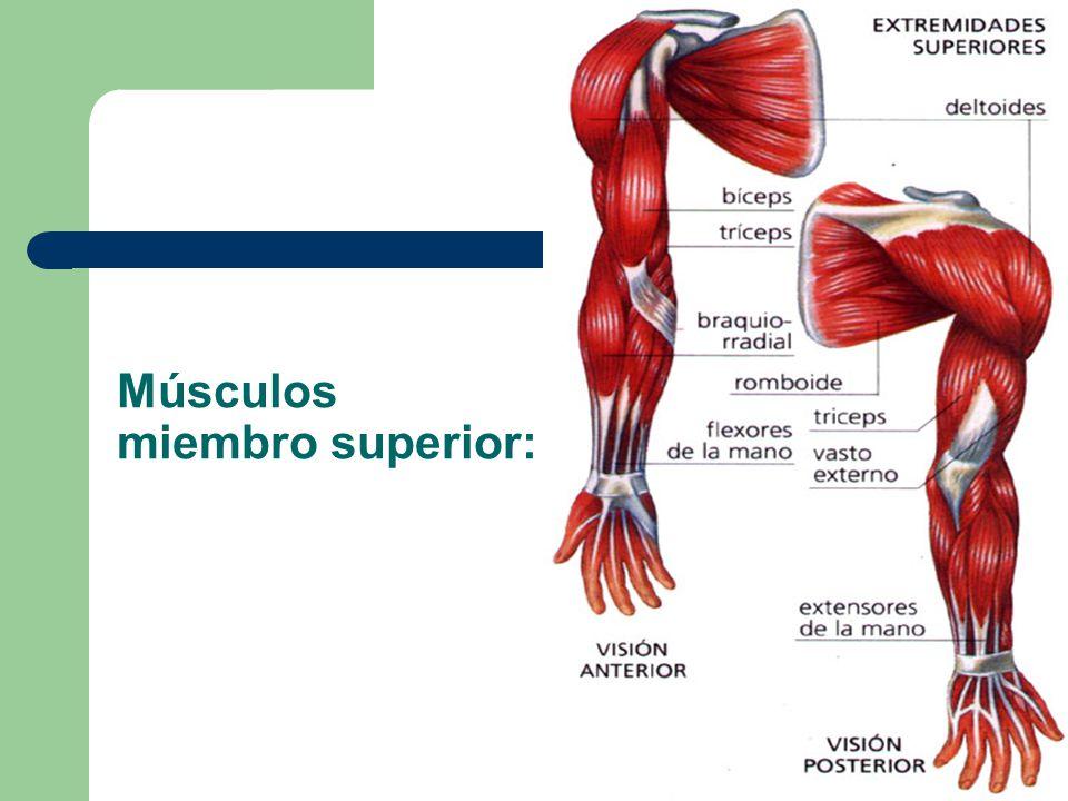 Lujoso Los Músculos De La Anatomía De Las Extremidades Superiores ...